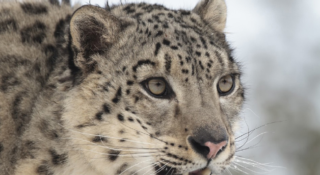 publications - newsletters - snow-leopard